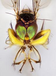 Campsicnemus magiusx